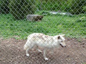Visitors are in an enclosure at the Wolf Conservation Center; the wolves run freely in their habitat. Photo credit: L. Tripoli