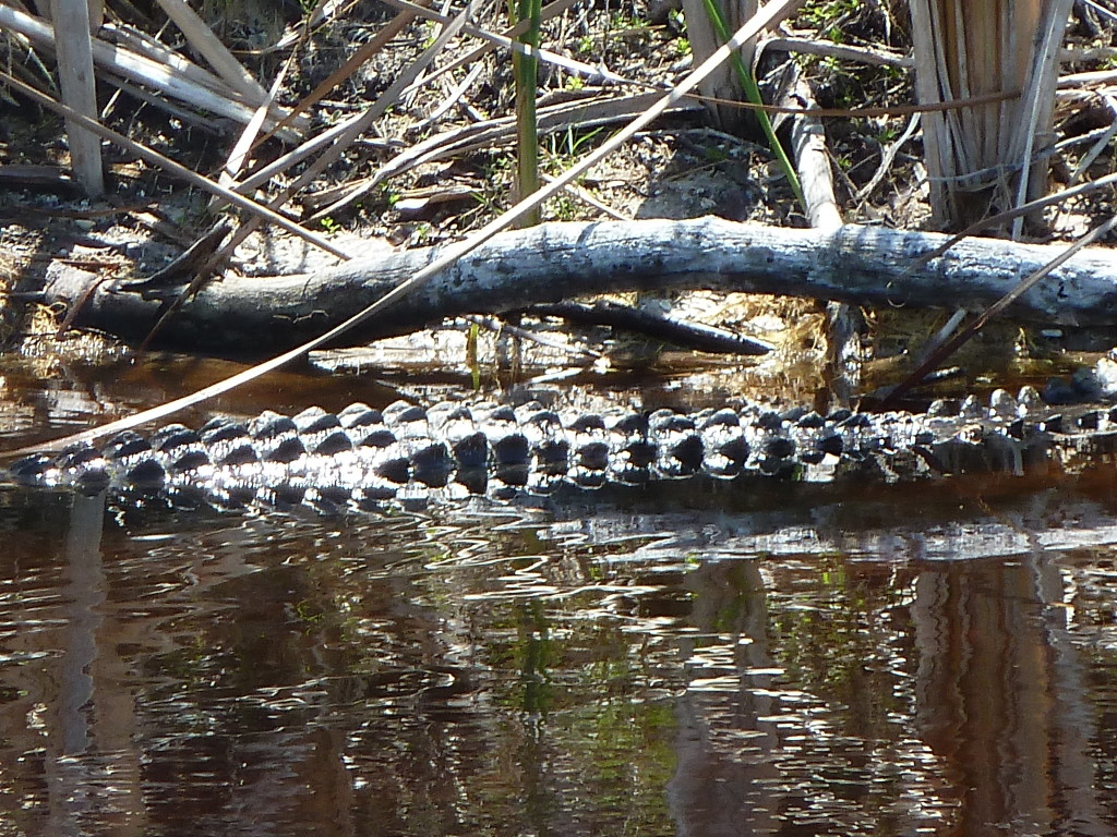 An alligator in Sanibel, Fla. Photo credit: M. Ciavardini