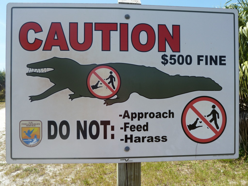 A reminder: Please do not hassle the alligators. Or bite them. Alligators snap. Maintain a safe distance if you happen to see on, on Sanibel Island, Fla., or elsewhere. Photo credit: M. Ciavardini