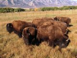 Is there a difference between buffalo and bison? We will find out on our visit to the American West Heritage Center. Photo courtesy of Logan, Utah/Cache Valley Visitors Bureau