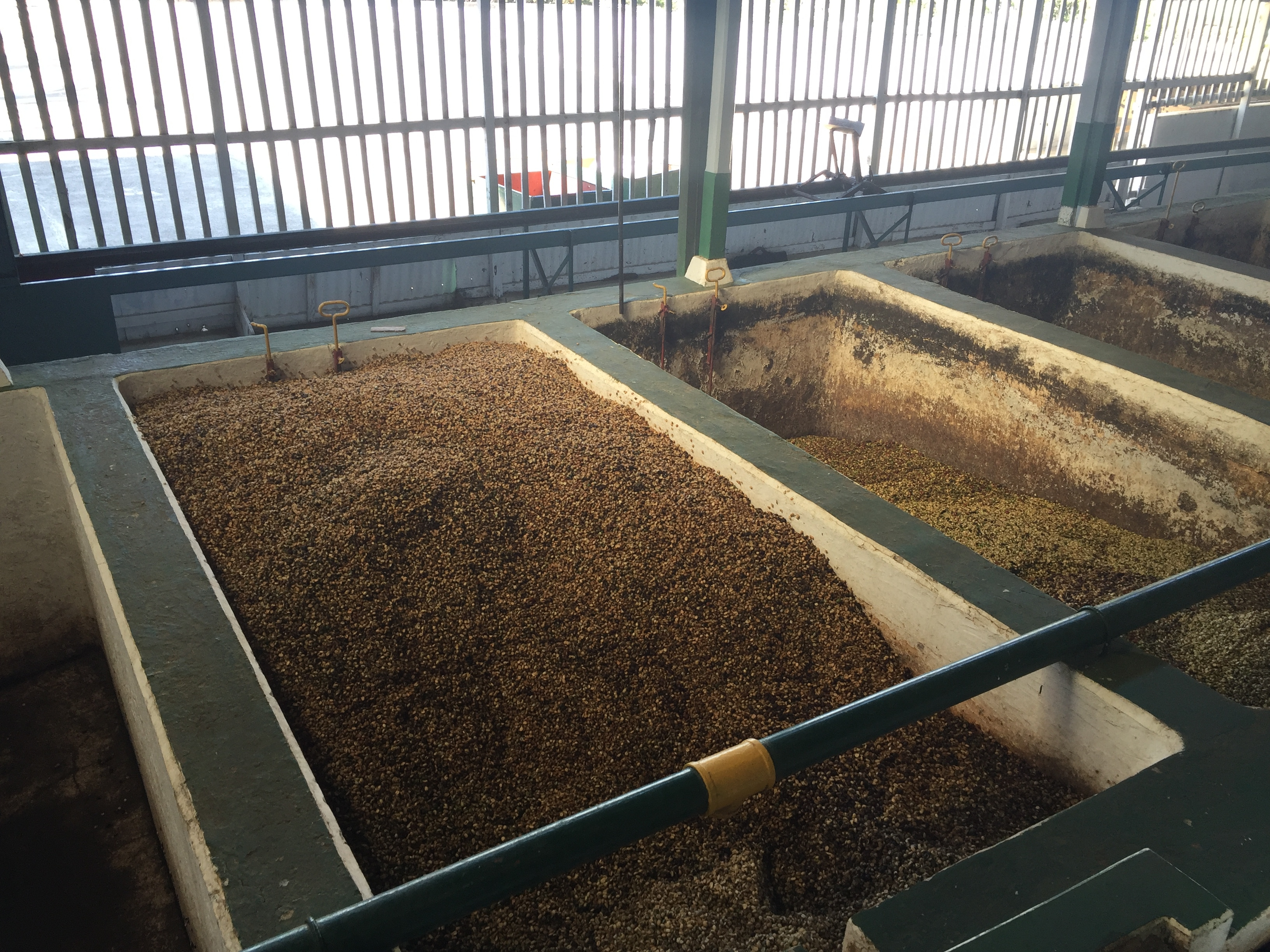 Fermenting coffee beans at Doka Estate in Alajuela, Costa Rica. Photo credit: M. Ciavardini