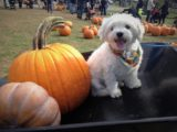 Pumpkins as big as dogs! Remember to check a destination's current rules before bringing along a furry friend for some pumpkin picking. Photo credit: M. Ciavardini.